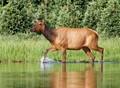 Female Elk from my Kayak