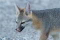 Gray Fox at ZZYZX