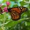 Santa Barbara Butterflies 105