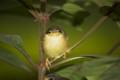 Ashy Warbler Chick