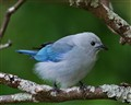 Blue-Gray Tanager on Orange Tree