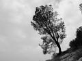 Lone Pine Tree, Folsom Lake, CA