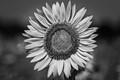 Summertime Sunflower