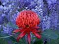 Wisteria and Waratah Tree Flowering
