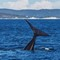 Southern Right Whale 06