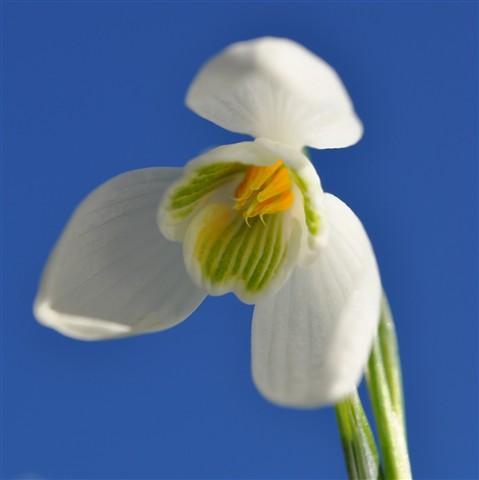 snowdrop flowers 087
