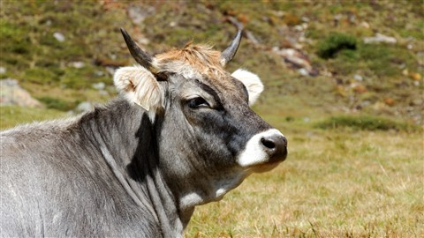 Cow 1800 m above sea level