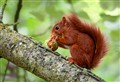 Red Squirrel, Jersey UK