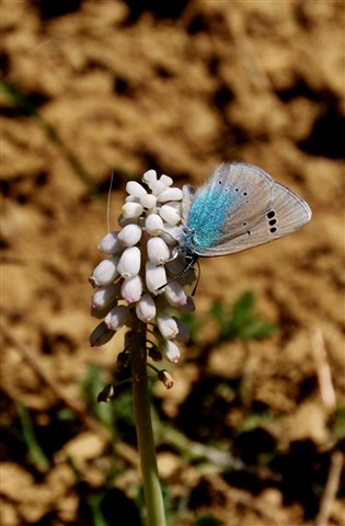 muscari and the butterfly