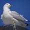 02_seagull2