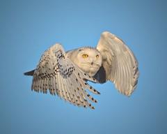 Flight_MG_1459中的雪鸮
