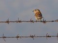 Red-backed Shrike on two wires