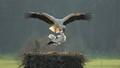 Stork Sex