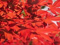 Foliage Space Filled with Red