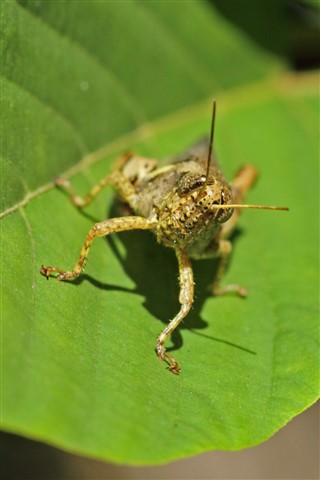Sun Tanning Grasshopper