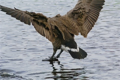Canada Goose - precisely at touchdown