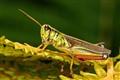 Resting Grasshopper