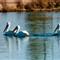 White Pelican 005