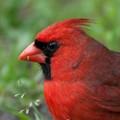 St. George Island Cardinal