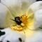 Japanese Beetle 03a