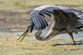 Great Blue Heron, at Orlando Wetlands Park