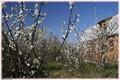 Cherry orchard