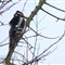 Great Spotted Woodpecker - from OoC JPEG