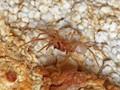 Cave spider (Stalita)