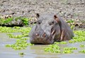 Angry Bull Hippo in a mud hole in the Seleous Reserve Tanzania - did not like having his mud bath disturbed!