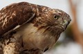 Red tail hawk, in the wild, in Santa Barbara, CA