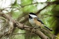 A Black-capped Chickadee enjoying some lunch.