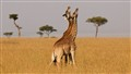 Its a bird, its a plane...its sparring giraffes