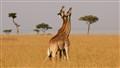 Its a bird, its a plane...its sparring giraffes