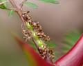 Ants on acacia tree.