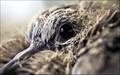 Spotted Dove Hatchling