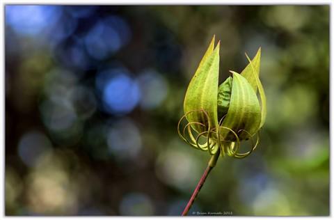 Scarlet hibiscus or scarlet rose mallow (Hibiscus coccineus - Malvaceae), unopened flower bud