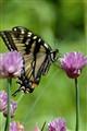yellowbutterfly01