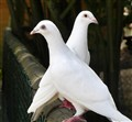 Beautiful white Pigeons