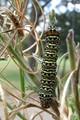 Phalaenoides Tristifica