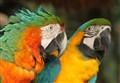 Macaws @ Umgeni