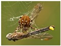 Spider vs Dragonfly