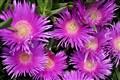 Selçuk Çiçekler-1