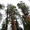 sequoiatopcropOct242011_6215