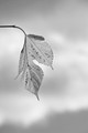 Lonely Yellow Leaf BW