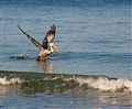 Pelican in the Water