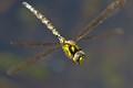 Hairy Hawker Male Dragonfly (Brachytron pratense).
