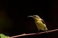 Female Sunbird...