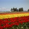 Tulips in Tulip Town, WA