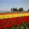 Tulips in Tulip Town, WA