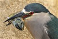 Black Crowned Night Heron with fresh catch